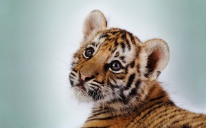Baby-Tigers-little-tigers-33558226-1600-1000